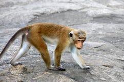 Affe auf Steinen Lizenzfreie Stockfotografie