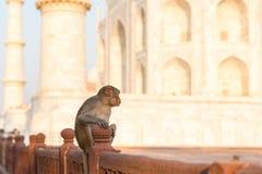 Affe auf Wand bei Taj Mahal Lizenzfreie Stockfotos