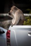 Affe auf weißem Auto Lizenzfreies Stockbild