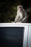 Affe auf weißem Auto Lizenzfreies Stockfoto