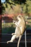 Affe auf Zaun Stockbild