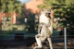 Affe auf Zaun Lizenzfreie Stockfotografie