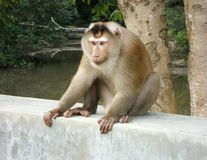 Affe auf Zementwand Stockfotos