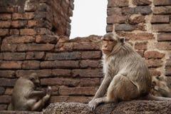 Affe auf Ziegelstein Lizenzfreies Stockbild