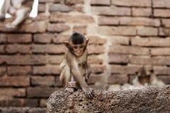 Affe auf Ziegelstein im Zoo Lizenzfreie Stockfotos