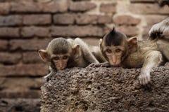 Affe auf Ziegelsteinen Stockfotografie