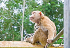 Affe-Auswahlkokosnüsse Lizenzfreie Stockfotos