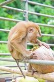 Affe-Auswahlkokosnüsse Stockfotos