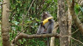 Affe Bali Stockbild