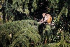 Affe in Baum Himalaja Stockfoto