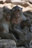 Affe bei Angkor Wat in Kambodscha - Tier Lizenzfreies Stockfoto