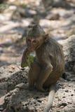 Affe bei Angkor Wat in Kambodscha - Tier Lizenzfreie Stockfotos