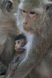 Affe bei Angkor Wat in Kambodscha - Tier Lizenzfreie Stockfotografie