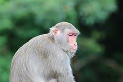 Affe bei Kam Shan Country Park, Kowloon Lizenzfreie Stockfotos