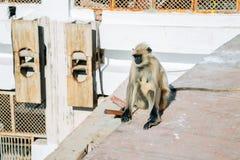 Affe bei Savitri Mata Temple in Pushkar, Indien Lizenzfreie Stockfotografie