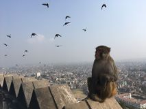 Affe bei Swayambhunath Stupa in Kathmandu-Stadt im Kathmandutal, Nepal Stockfoto