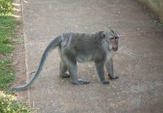 Affe bei Uluwatu, Bali, Indonesien Lizenzfreie Stockbilder