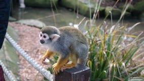Affe bereit sich zu stürzen Lizenzfreies Stockfoto