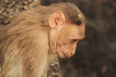 Affe beschäftigt in den Gedanken Stockfotos