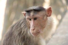 Affe beschäftigt in den Gedanken Lizenzfreie Stockbilder