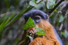 Affe beschäftigt mit dem Finden des Lebensmittels Lizenzfreies Stockfoto