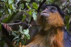 Affe beschäftigt mit dem Finden des Lebensmittels Lizenzfreie Stockfotos