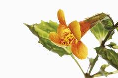 Affe-Blumen Lizenzfreies Stockfoto