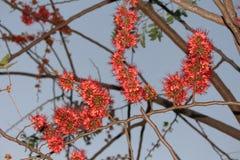 Affe-Blumen-Bäume Das helle Rot der Blumen Lizenzfreie Stockfotografie