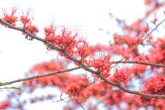 Affe-Blumen-Baum, Feuer von Pakistan Stockfotos