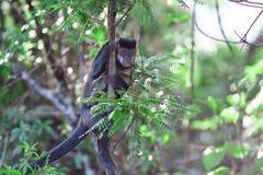 Affe Brasilien sitzt auf Perillo Stockfotografie