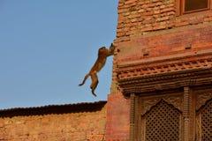 Affe, Buddanath-stupa, Nepal Stockfotografie