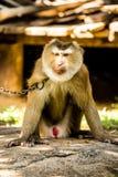 Affe in chiangmai Provinz Thailand Lizenzfreie Stockbilder
