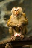 Affe in chiangmai Zoo chiangmai Thailand Stockfoto