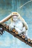 Affe in chiangmai Zoo, chiangmai Thailand Stockbild