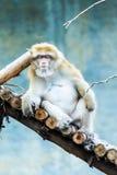 Affe in chiangmai Zoo, chiangmai Thailand Lizenzfreies Stockbild
