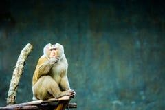 Affe in chiangmai Zoo, chiangmai Thailand Stockfoto