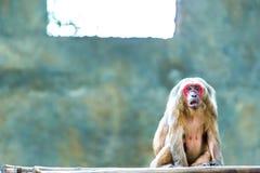 Affe in chiangmai Zoo, chiangmai Thailand Stockfotografie