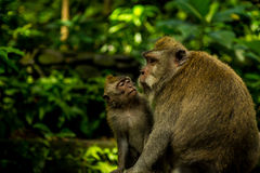 Affe-Clan am heiligen Affen Forest Sanctuary Lizenzfreie Stockfotos