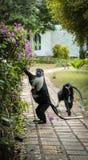 Affe Colobus angolensis mit Baby Lizenzfreie Stockfotos