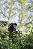 Affe De Brazza, der in Treetops Cercopithectus-neglectus isst Stockfoto