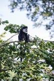 Affe De Brazza, der in Treetops Cercopithectus-neglectus isst Lizenzfreies Stockfoto