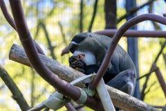 Affe De Brazzas an Oregon-Zoo Lizenzfreie Stockfotos
