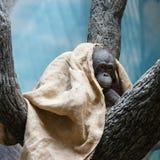 Affe in Deckung gegangen Lizenzfreies Stockfoto