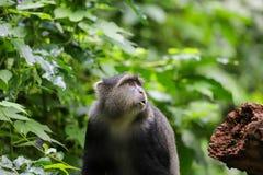 Affe in den Bäumen, die nach Nahrung suchen stockfotos