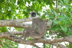 Affe in den Dschungeln Stockbild