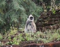 Affe in den Ruinen Stockfotografie
