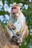 Affe, der Ananas isst Lizenzfreies Stockfoto