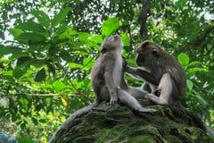 Affe, der anderen Affen pflegt Stockbild
