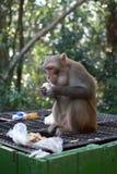 Affe, der Apfel vom Mülleimer isst Lizenzfreies Stockbild