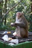 Affe, der Apfel vom Mülleimer isst Lizenzfreie Stockbilder